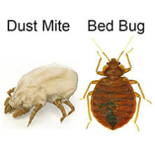 bed bugs or dust mites