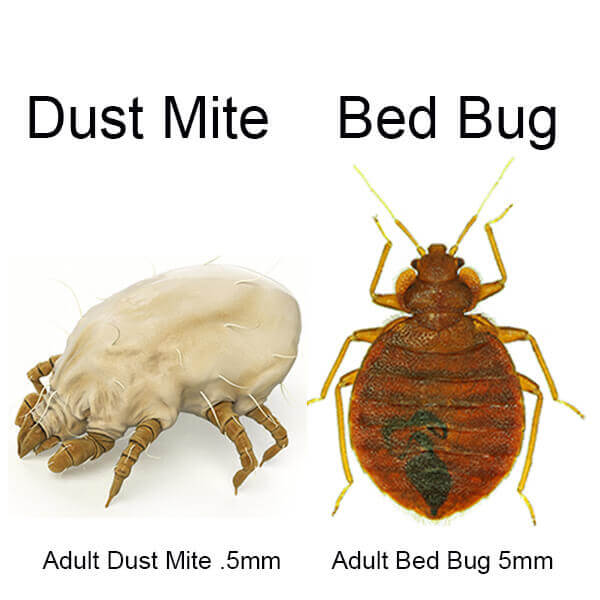 Dust Mite Bites vs Bed Bug Bites