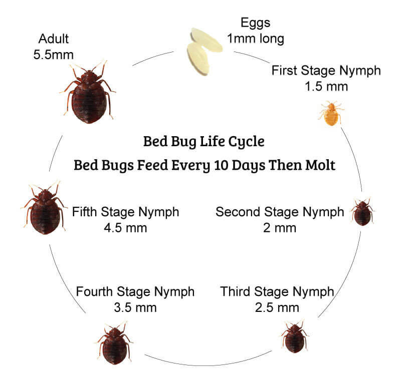Bed Bug Life Cycle 7 Stages Of A Bed Bugs Life Cycle You